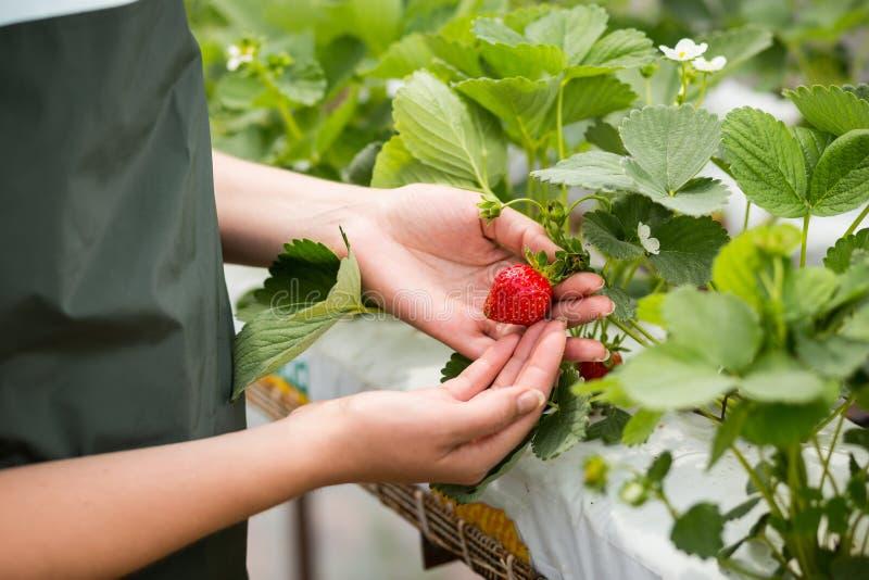 Przemysłowy przyrost świeże truskawki rosnąć w plantaci w szklarniach zdjęcie stock