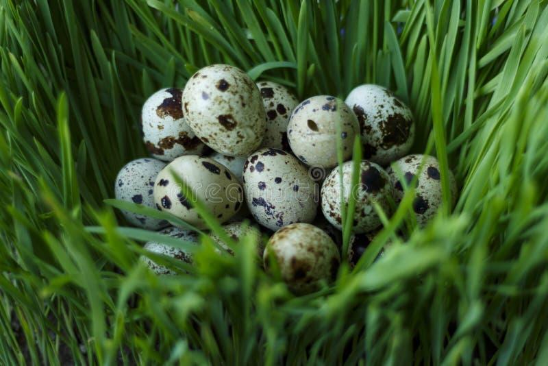 Przepiórek jajka w trawie zdjęcie royalty free