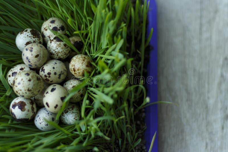 Przepiórek jajka w trawie fotografia royalty free