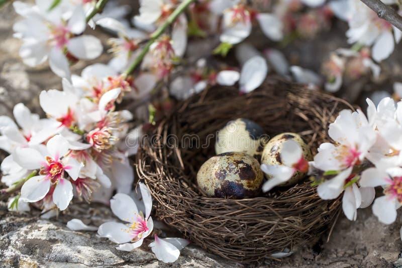 Przepiórki okwitnięcie i jajka fotografia royalty free