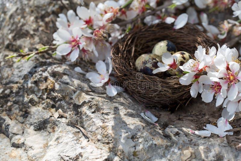 Przepiórki okwitnięcie i jajka fotografia stock