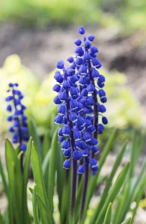 Przerzedże błękitnego muscari kwiatu (Gronowy hiacynt) fotografia stock