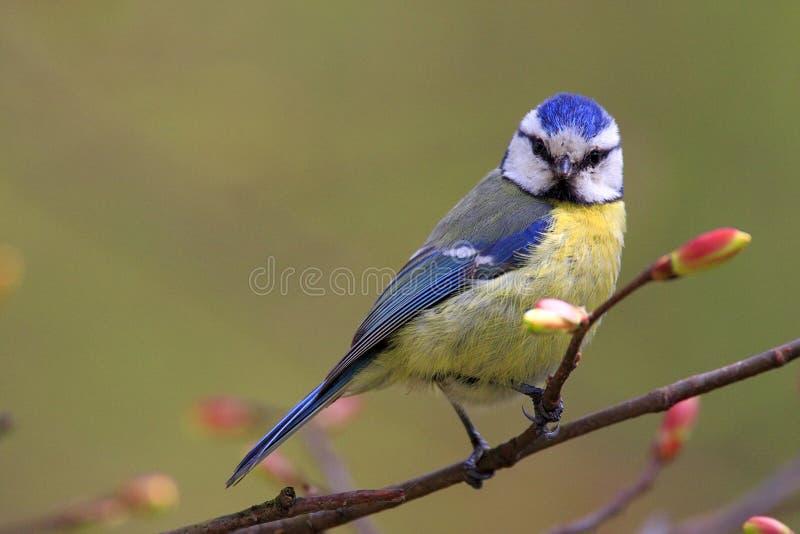 Przerzedże Błękitnego tit ptaka na drzewnej gałązce w wczesnej wiośnie fotografia royalty free