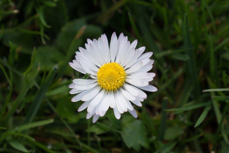 Przerzedże białej stokrotki kwiatu z zieloną trawą obrazy royalty free