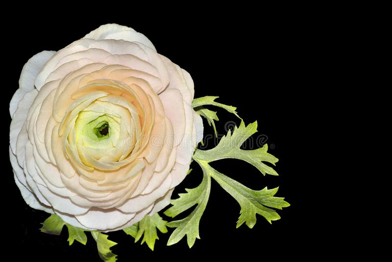 Przerzedże jasnoróżowego ranunculus kwiatu z liśćmi odizolowywającymi na czerni zdjęcia stock