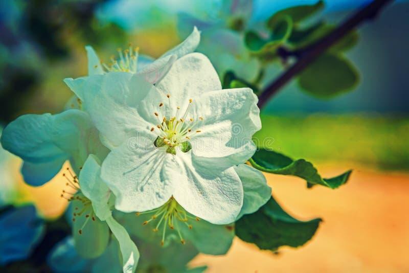 Przerzedże kwiatu jabłoni instagram przełaz zdjęcia royalty free