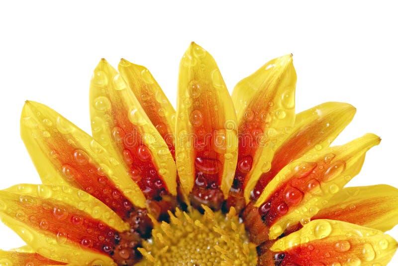 Przerzedże kwiatu tygrysi Gazania z kroplami. (Splendens genus aste fotografia stock