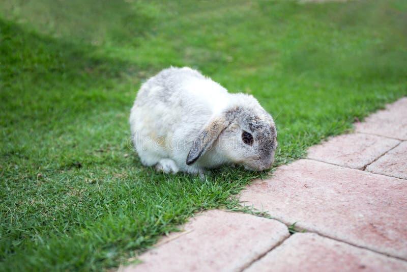 Przerzedże popielatego królika na zielonej trawy polu obraz royalty free