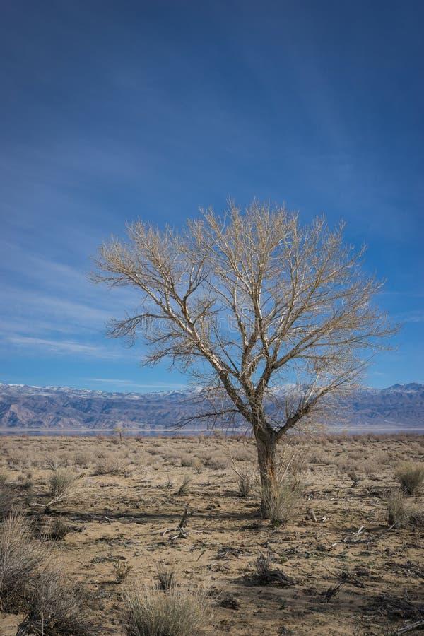 Przerzedże pustynnego drzewa zdjęcie royalty free