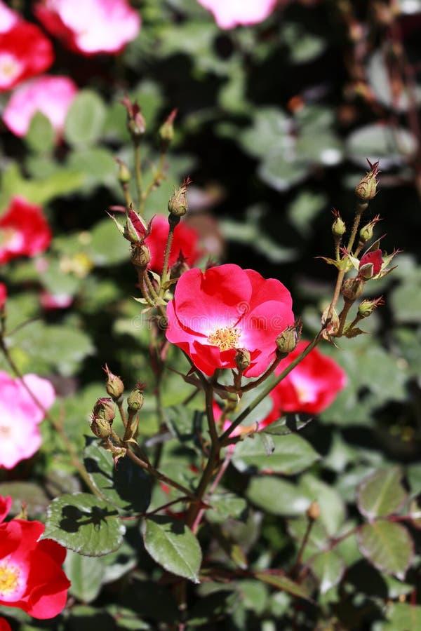 Przerzedże różanego flowersï ¼ ˆRosa chinensis Jacq var spontanea Rehd et Wils YÃ ¼ et Kuï ¼ ‰ zdjęcie royalty free