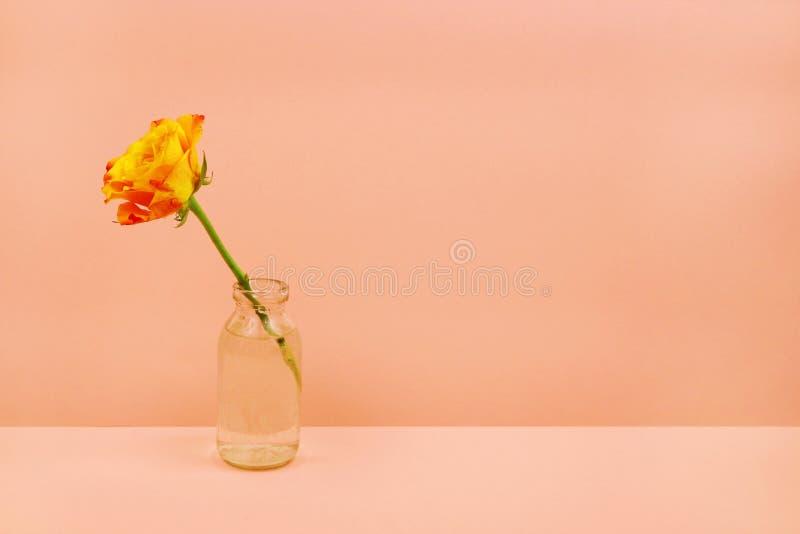 Przerzedże różanego w szklanej butelce na różowym tle zdjęcie stock