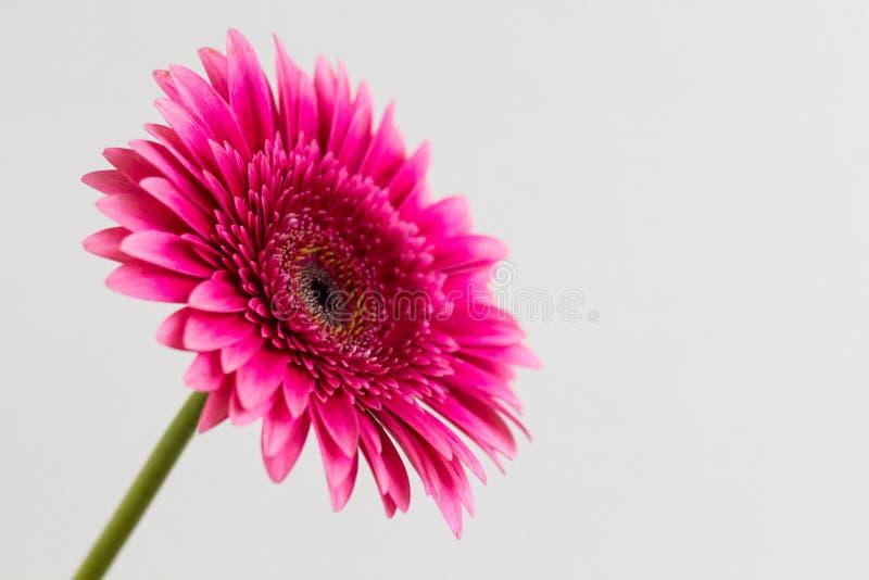 Przerzedże różowej gerbera stokrotki na białym tle obraz royalty free