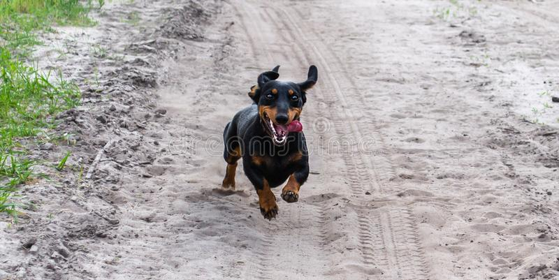 Przerzedże szczęśliwych czarnych jamnika psa bieg dla bicyklu na piaskowatej drodze lub samochodu szybko zdjęcie stock