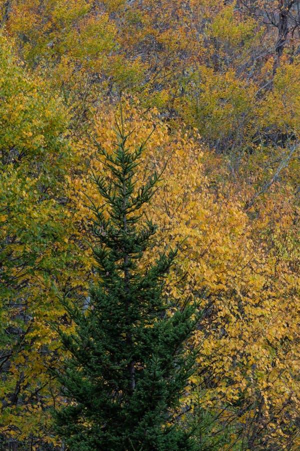 Przerzedże wiecznozielonego drzewa przed żółtymi jesień liśćmi, Great Smoky Mountains fotografia royalty free