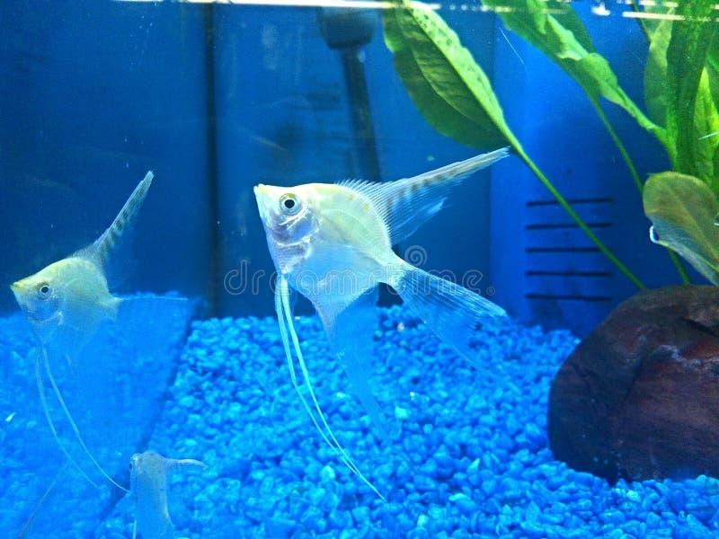Przesłaniająca ogonu anioła ryba obraz royalty free