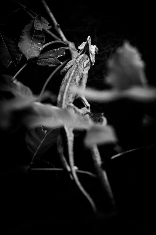 Przesłaniający kameleonów zwierząt czarny i biały portrety fotografia royalty free