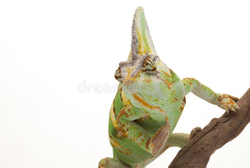 Przesłaniający kameleon zdjęcie stock