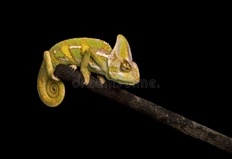 Przesłaniający kameleon na czarnym tle obrazy royalty free