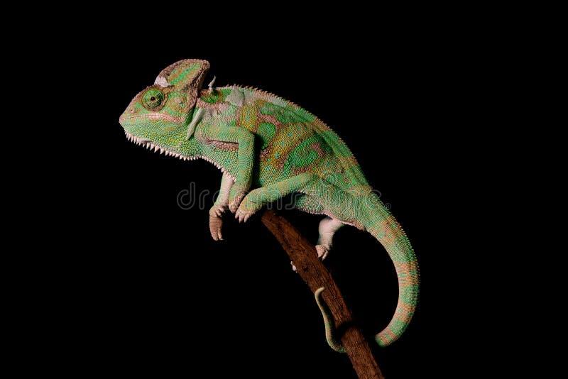 Przesłaniający kameleon na czarnym tle zdjęcia stock