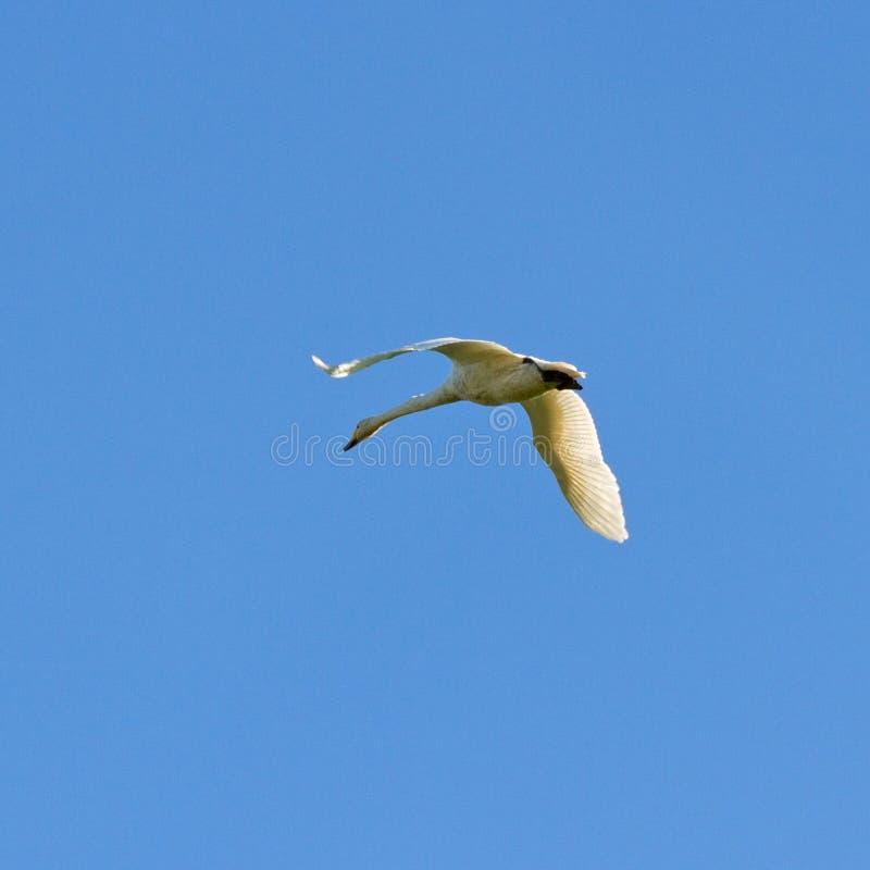 Przesiedleńczy ptak obraz royalty free