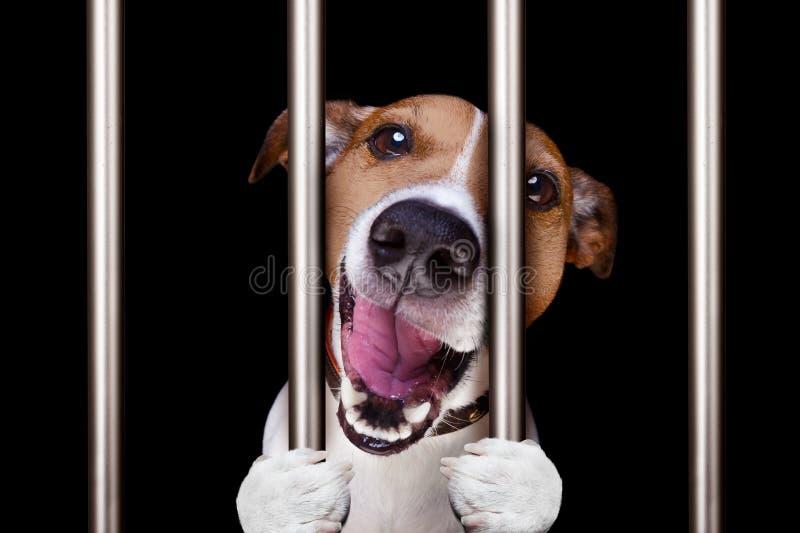 Przestępca pies za barami w komendzie policji, więzienia więzieniu lub shel, obrazy stock