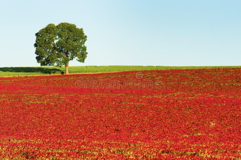 Przestrzeni Czerwonej koniczyny Śródpolny i samotny drzewo obraz stock
