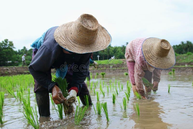 Download Przeszczepów ryż rozsady zdjęcie stock editorial. Obraz złożonej z ziemia - 57663318