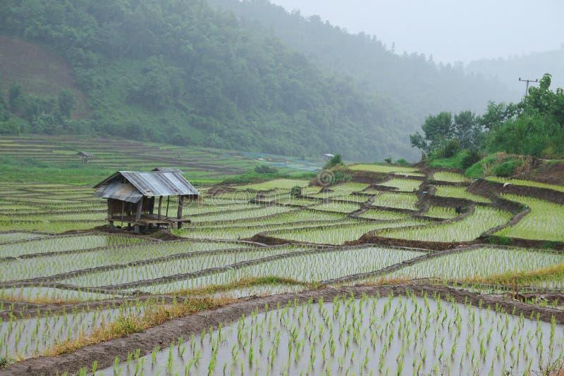 Download Przeszczepów ryż rozsady obraz stock. Obraz złożonej z kultywator - 57663387