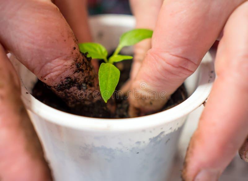 Przeszczep młodych pędów pomidora w plastikowej kubce obrazy stock