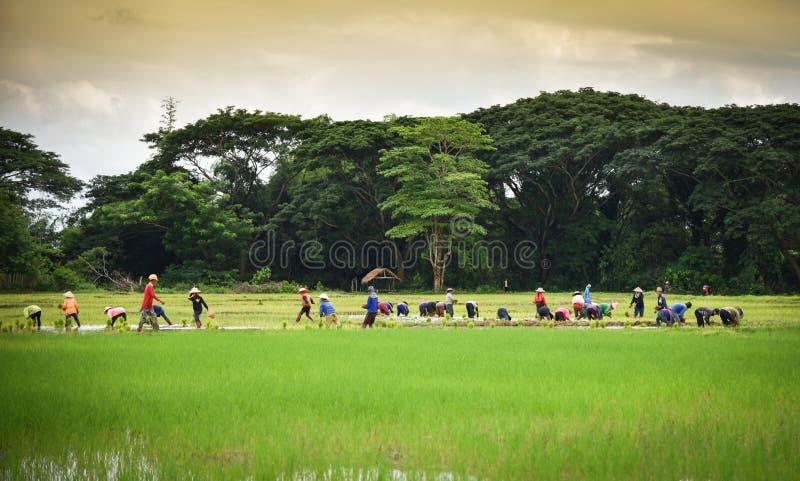 Przeszczep rozsad Laos rolnika ryżowi ludzie fotografia stock