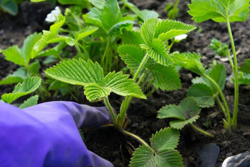 Przeszczep truskawki wiosną Okręg wyborczy bush zdjęcia stock