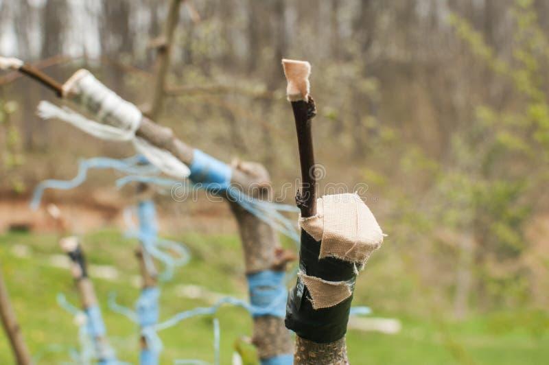 Przeszczepiać gałąź owocowego drzewa zbliżenie fotografia stock