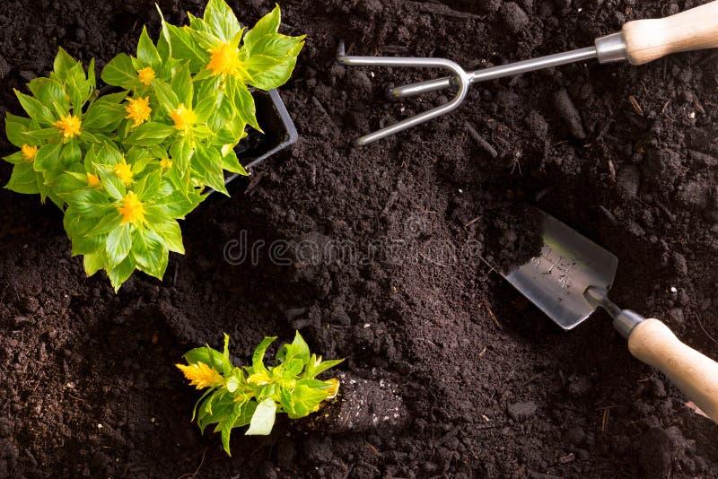 Przeszczepianie żółta celozja kwitnie w ogródzie zdjęcie royalty free