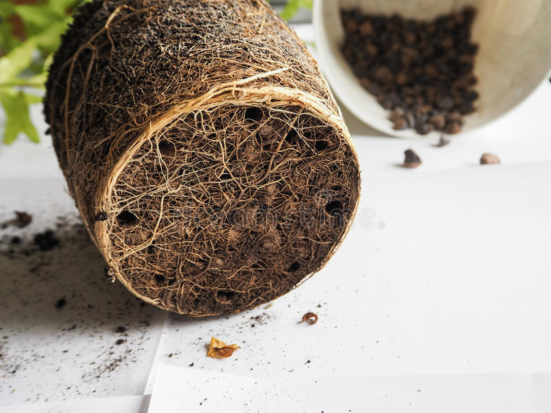 Przeszczepianie sezonowe rośliny Zdrowi roślina korzenie Przeflancowywa granatowa zdjęcie stock