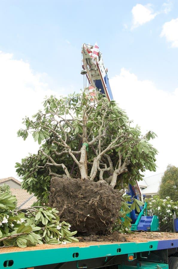 przeszczepu drzewo fotografia royalty free