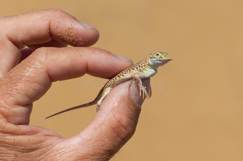 Przeszuflowywa Snouted jaszczurki w ręce (Aporosaura anchietae) zdjęcia royalty free