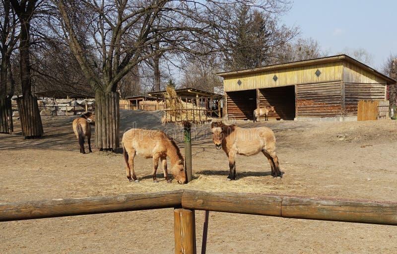 Przewalski在动物园的` s马 图库摄影