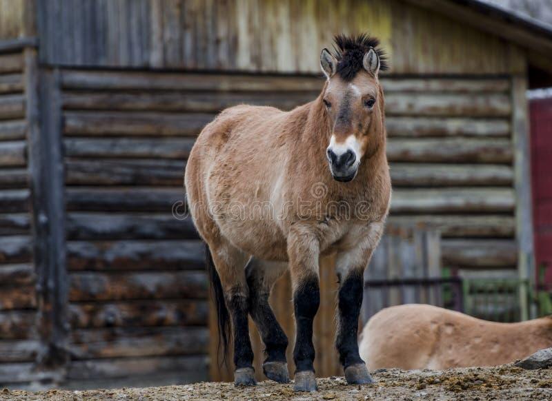 Przewalski& x27; 站立在小山的s马在动物园里 免版税库存照片