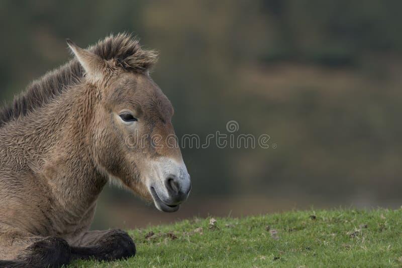 Przewalski häst, Equusferusprzewalskii, stående arkivbild