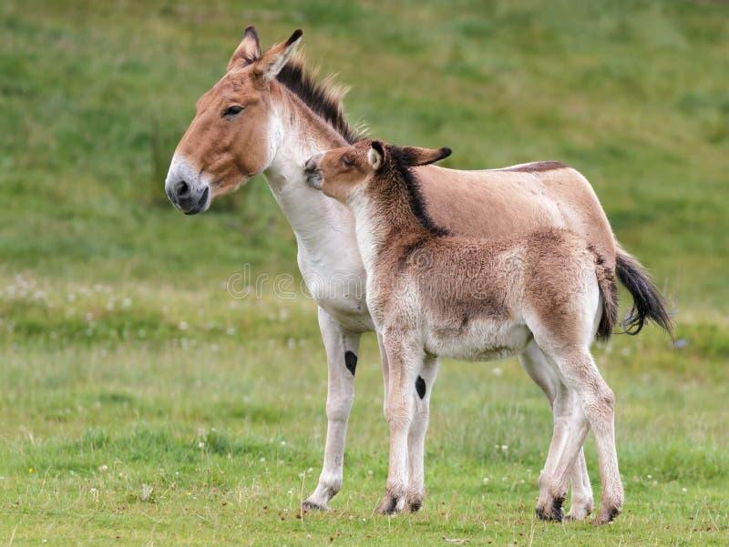 Przewalski häst (Equusferusprzewalskiien) arkivbilder
