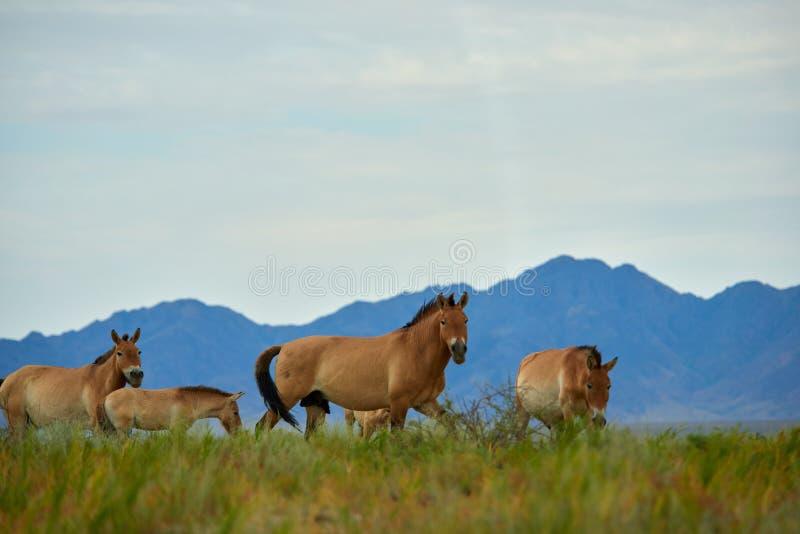Przewalski hästar i Altynen Emel National Park i Kasakhstan royaltyfria foton