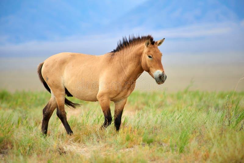 Przewalski hästar i Altynen Emel National Park i Kasakhstan royaltyfri foto