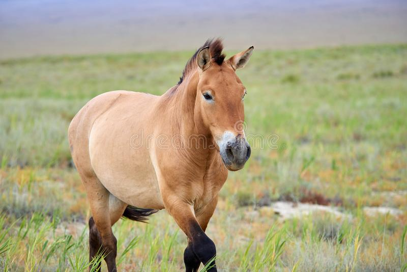 Przewalski hästar i Altynen Emel National Park i Kasakhstan royaltyfri bild