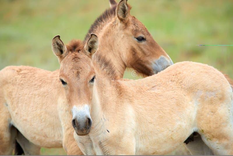 Przewalski hästar i Altynen Emel National Park i Kasakhstan arkivfoton