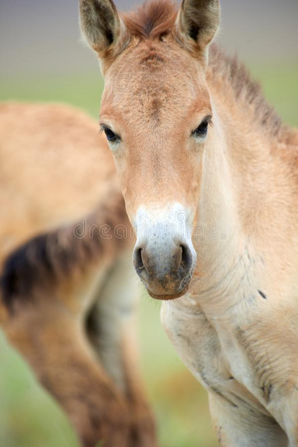 Przewalski hästar i Altynen Emel National Park i Kasakhstan arkivbilder