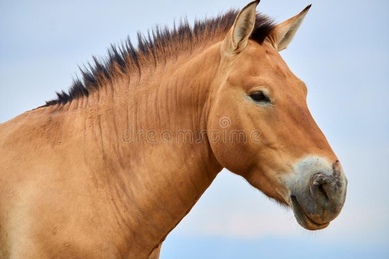 Przewalski hästar i Altynen Emel National Park i Kasakhstan royaltyfria bilder
