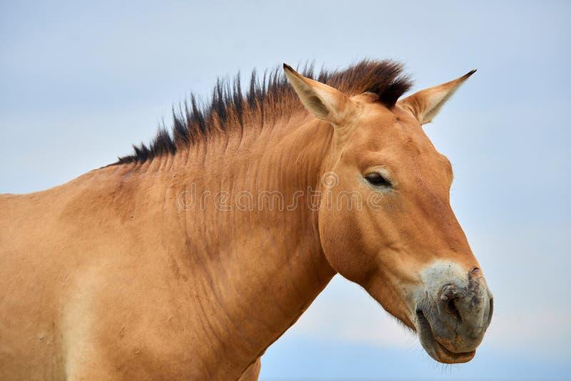 Przewalski hästar i Altynen Emel National Park i Kasakhstan arkivfoto
