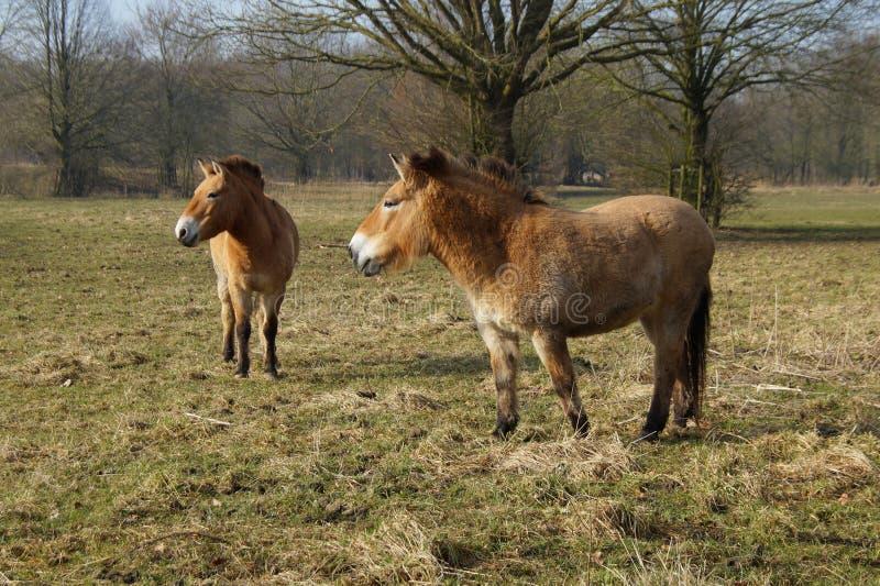 Przewalski hästar i ett fält fotografering för bildbyråer