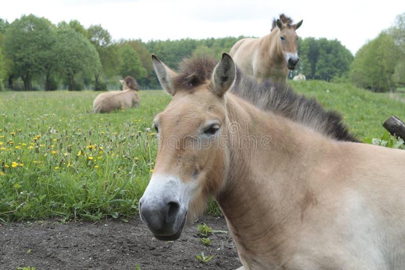 Przewalski hästar i naturen Lelystad royaltyfri bild