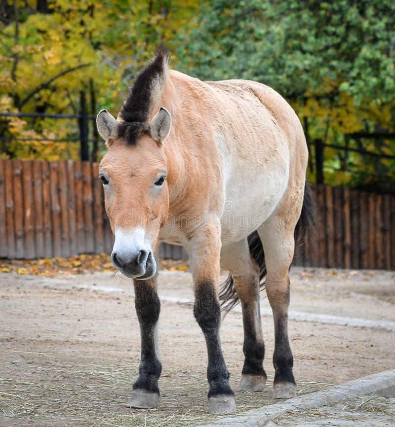Przewalski koń lub Dzungarian koń przy zoo Przewalski koń jest rzadkimi i zagrażającymi pododmianami dziki koń obraz royalty free